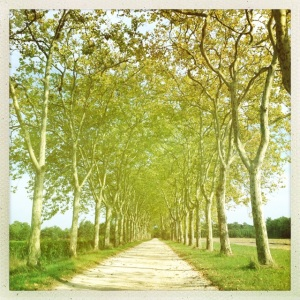 The stunning trees lining the drive at Chateau Guiraud.