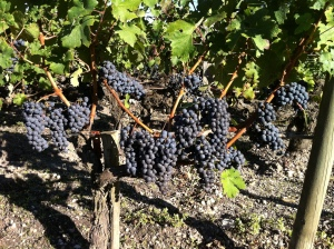 The grapes at near harvest.  The estate had begun to pick some fruit that morning.