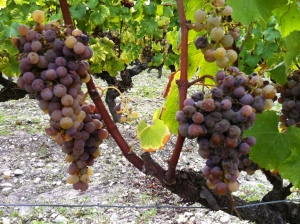 To here, getting ready for harvest with the appearance of noble rot.